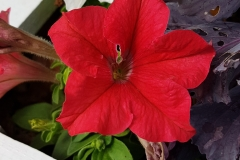 Richly red